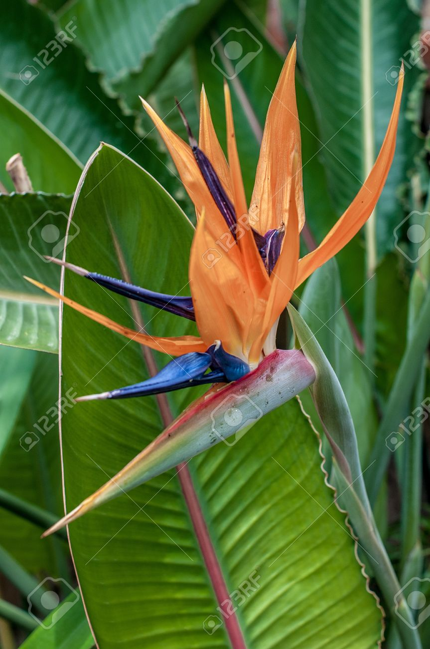 strelitzia reginae or paradise bird flower is the official flower