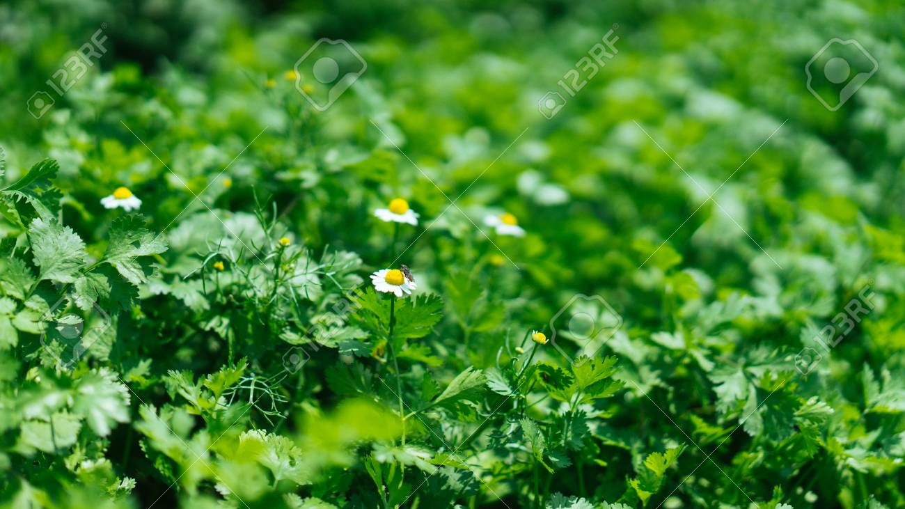 Mostly green plants with a few small white flowers with yellow mostly green plants with a few small white flowers with yellow centers stock photo mightylinksfo Gallery