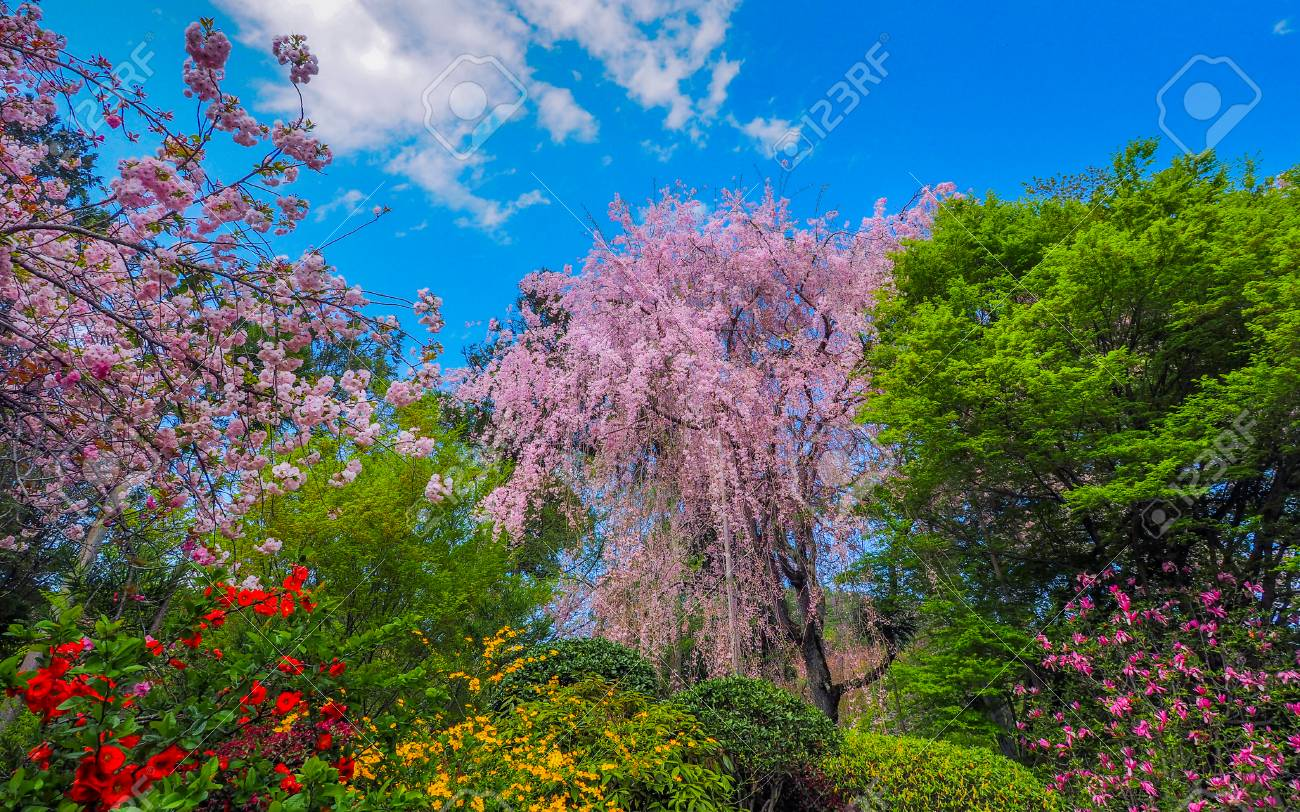 Japanese Garden With Fully Blossomed Weeping Cherry Tree Stock