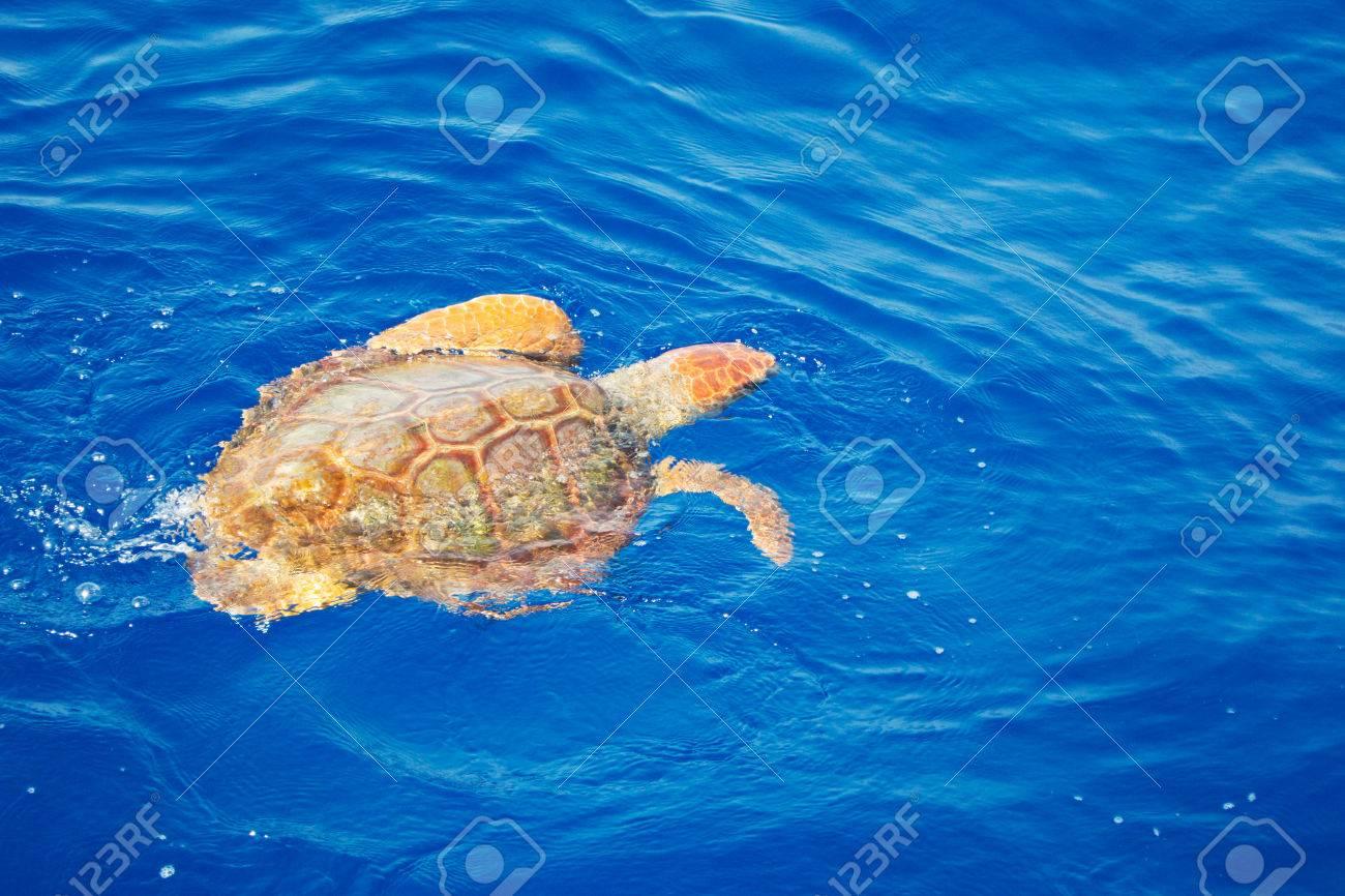 Turtle swimming in the Atlantic Ocean Stock Photo - 23103274