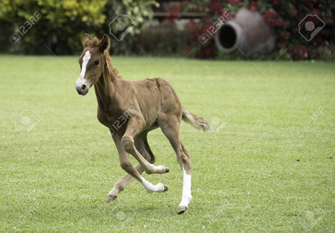 Pure Bred Peruvian Paso Foal Baby Horse Stock Photo Picture And Royalty Free Image Image 121121625