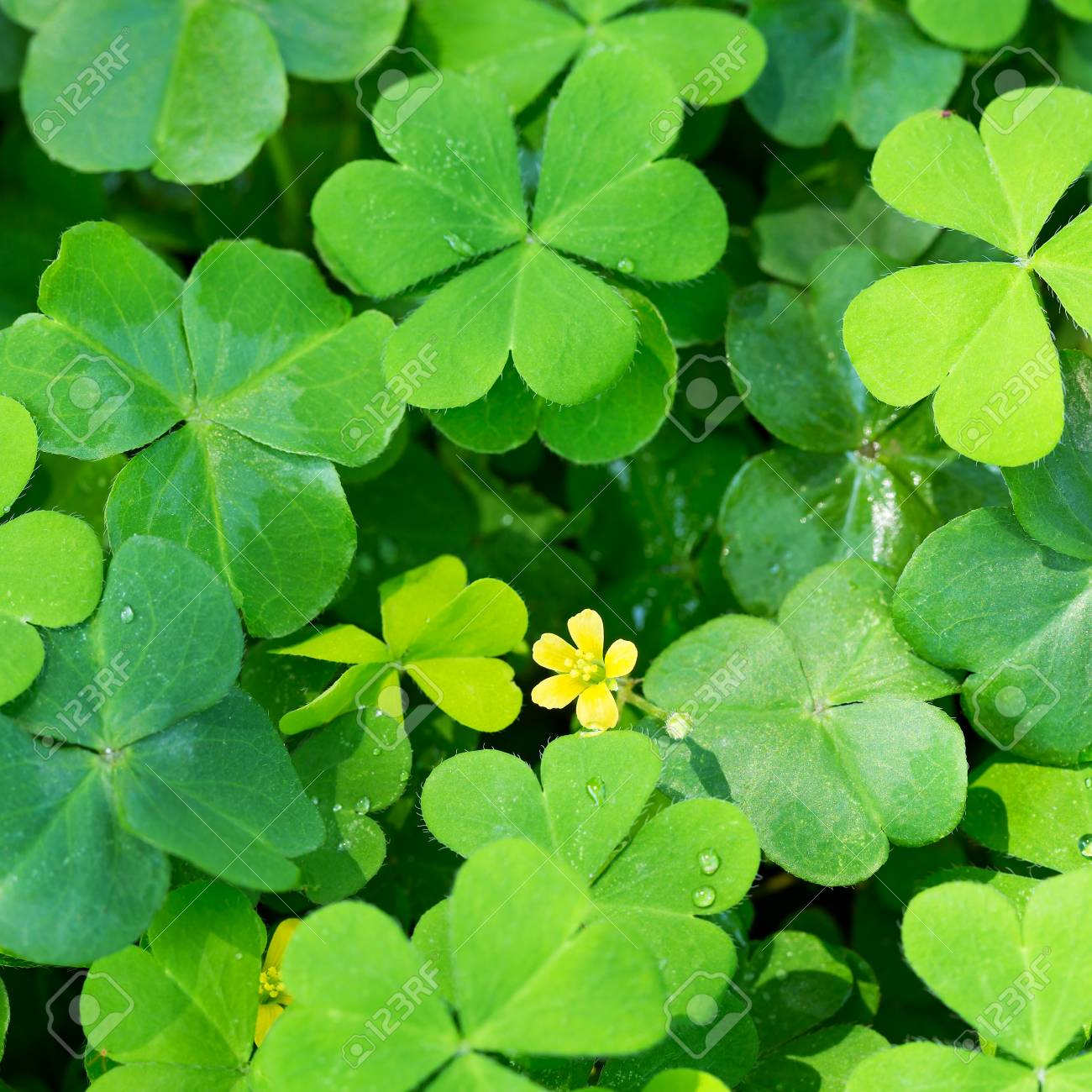 Clover And Little Yellow Flower Stock Photo Picture And Royalty