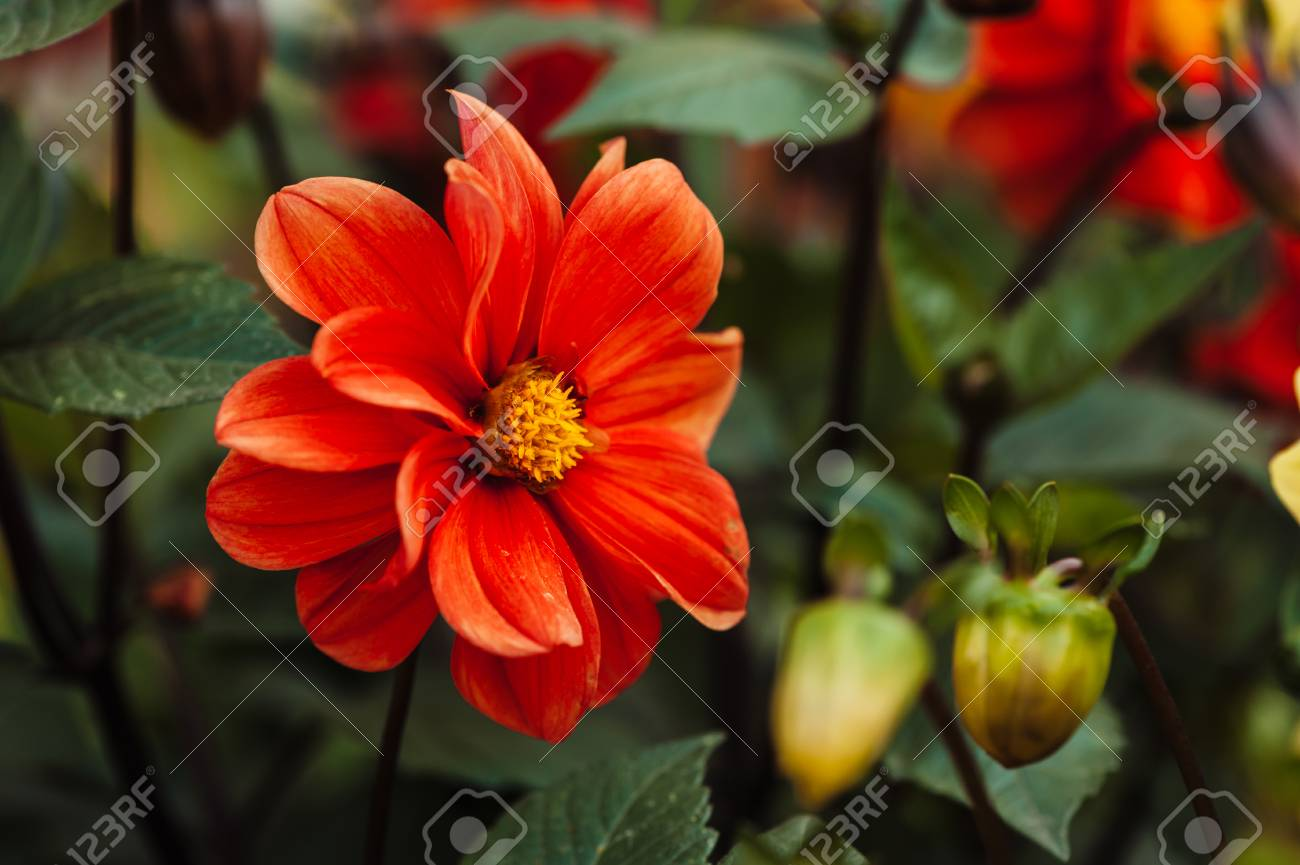 Red Flower With Yellow Center And Wavy Petals Dahlia Bright