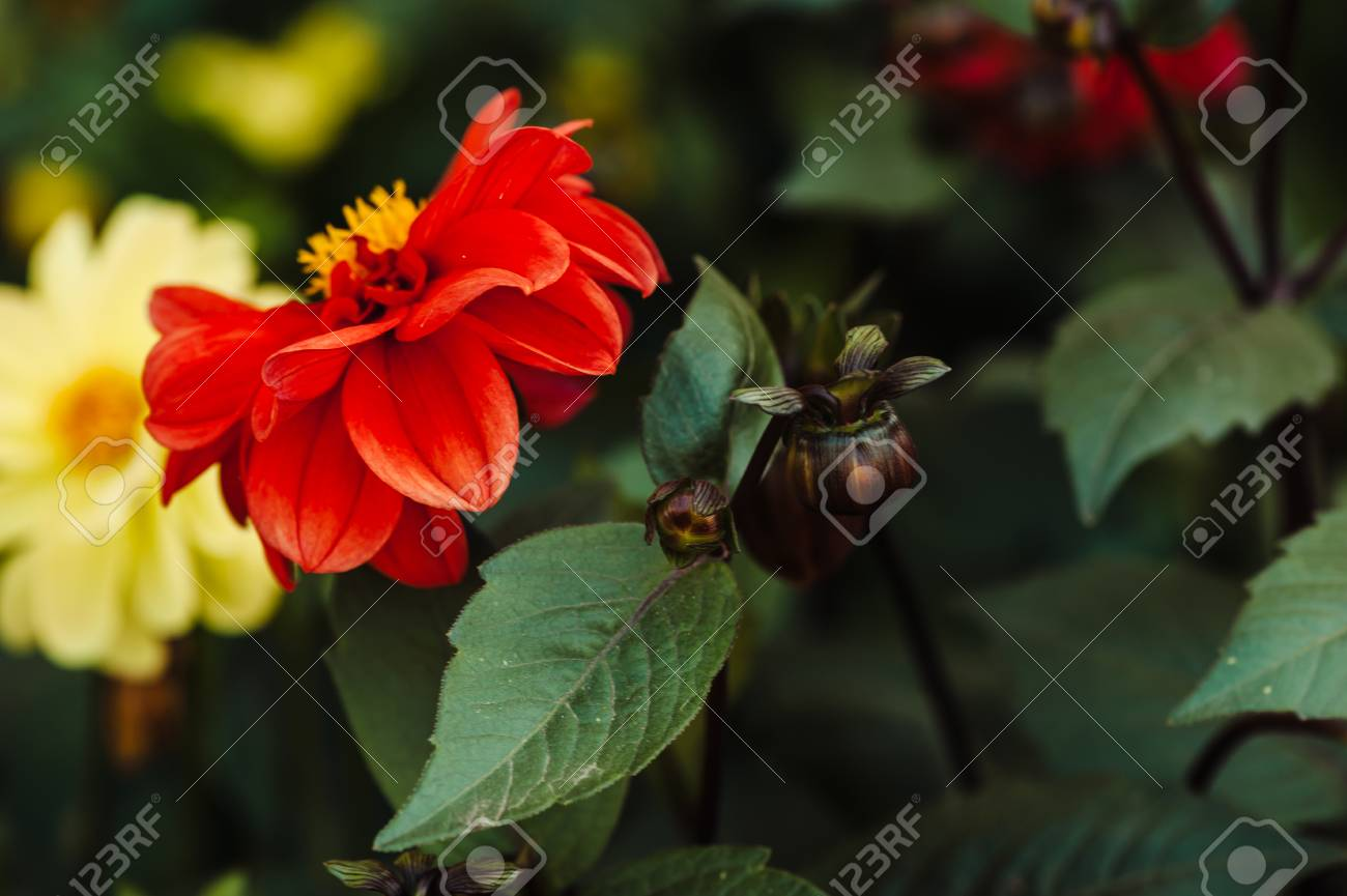 Red Flower With Yellow Center And Wavy Petals Dahlia Brown