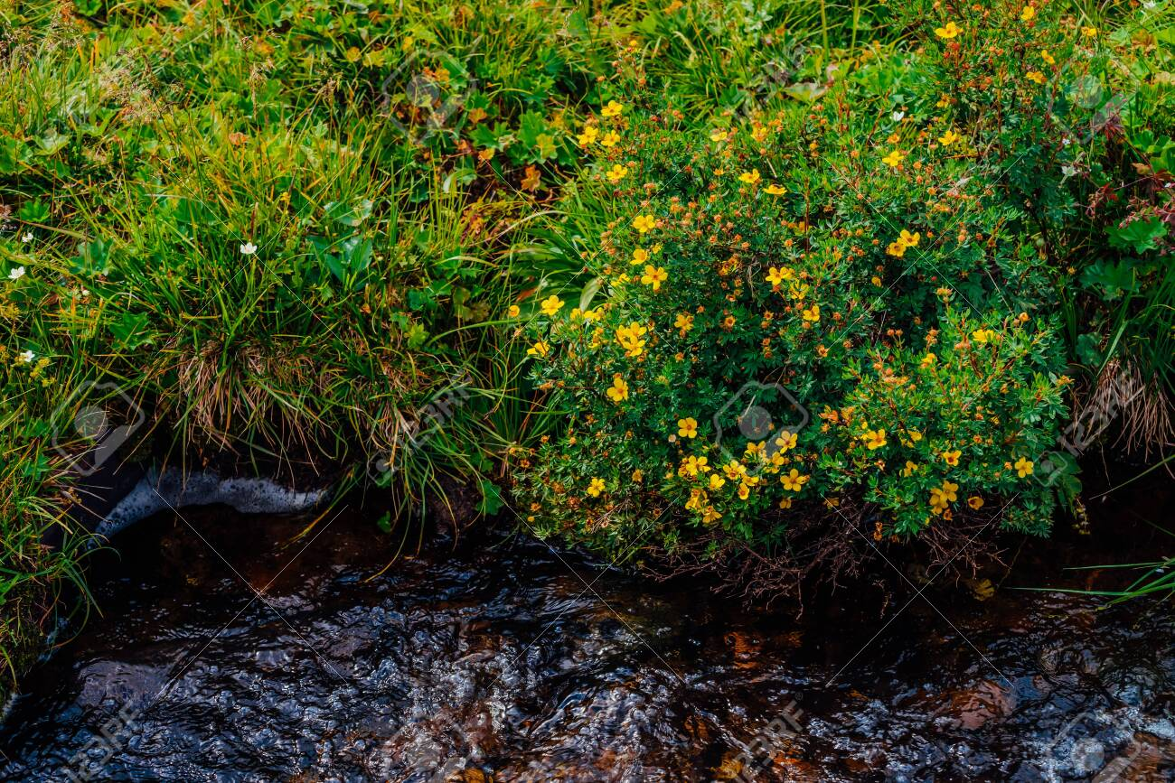 Bush With Blooming Yellow Flowers Of Silverweed Near Spring Water