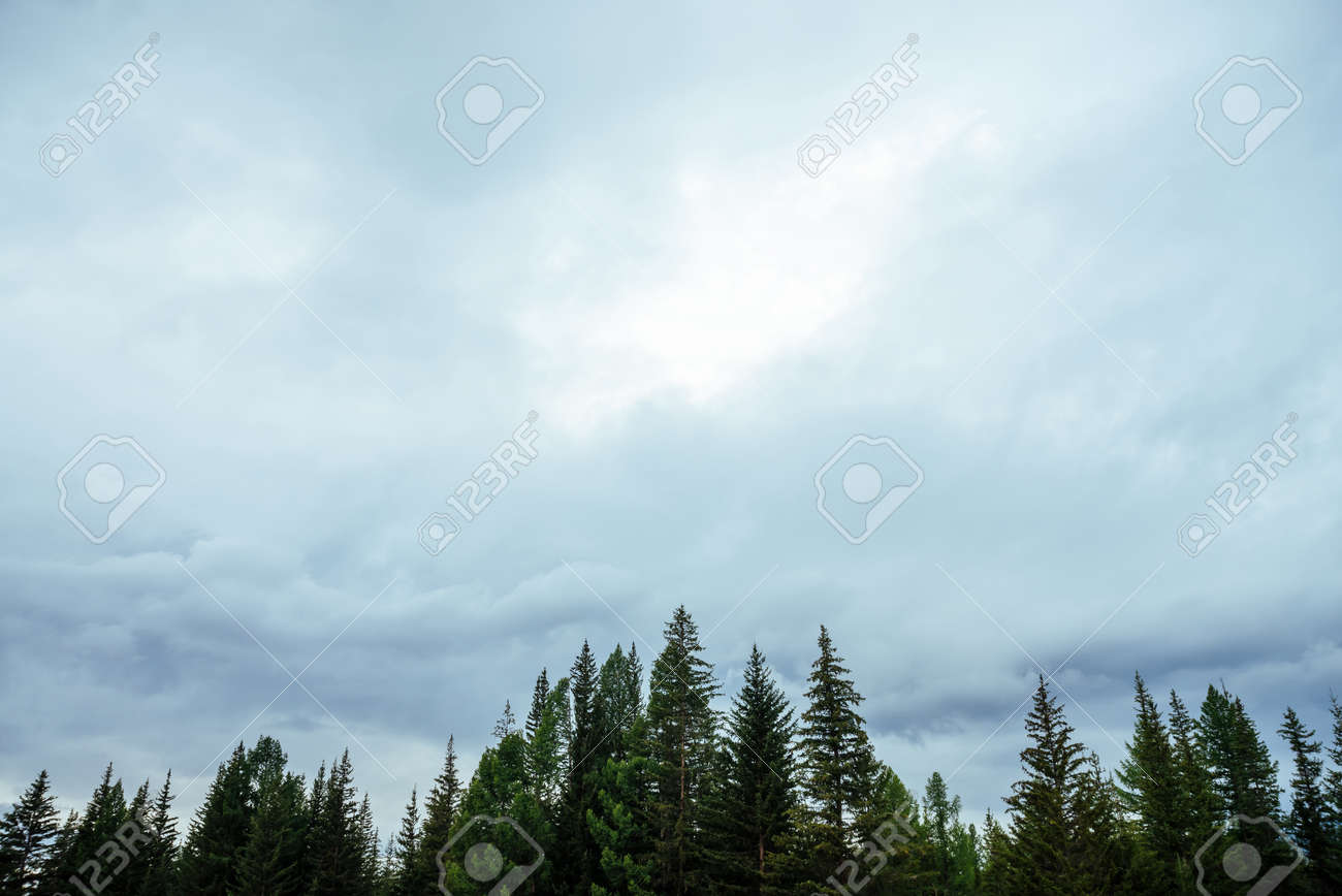 Silhouettes of fir tops on cloudy sky background. Atmospheric minimal forest scenery. Tops of green conifer trees against gray overcast sky. Nature backdrop with firs and sky. Woody mystery landscape. - 170494645