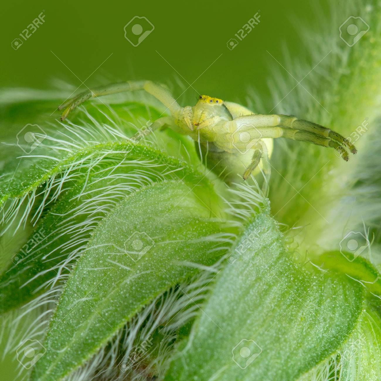 毛深い花蜘蛛 (Misumena)。彼の足を広げます。獲物を待っています。 の ...