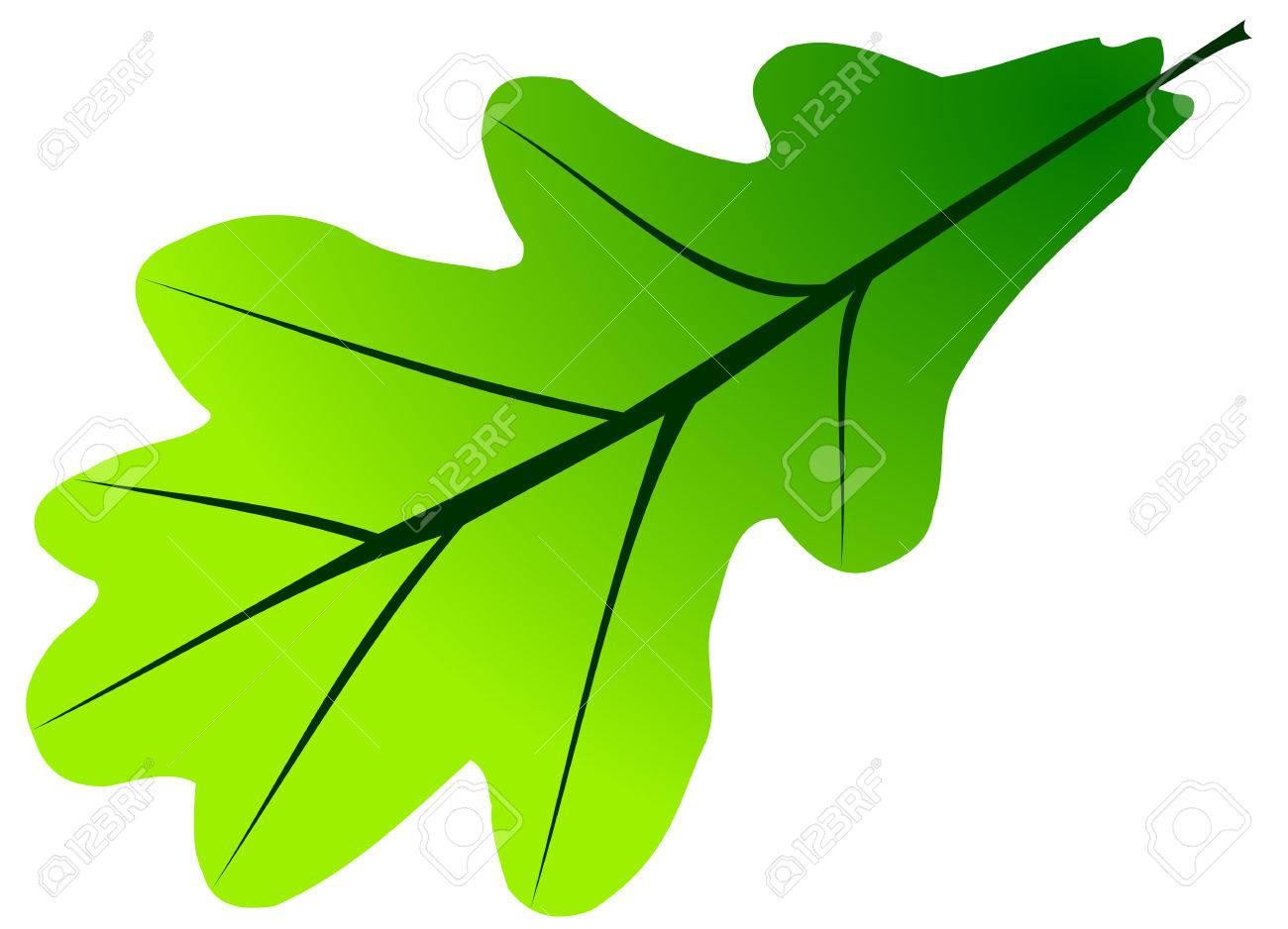 oak quercus robur vector isolated oak leaf royalty free cliparts rh 123rf com oak leaf silhouette vector oak leaf vector free download
