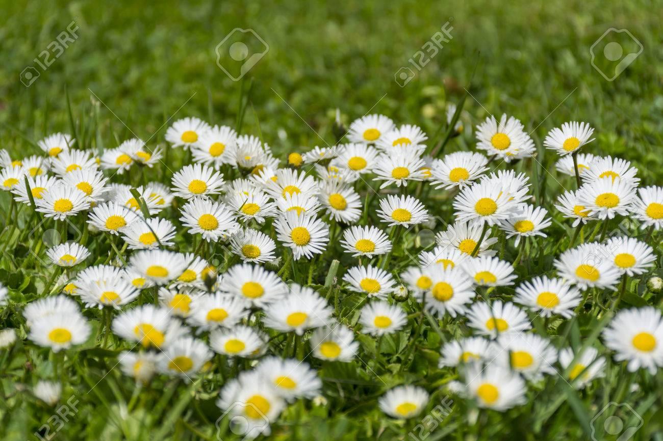 草原に多くの白いヒナギク。ヒナギク - 春のヒナギクのグループ。 の ...