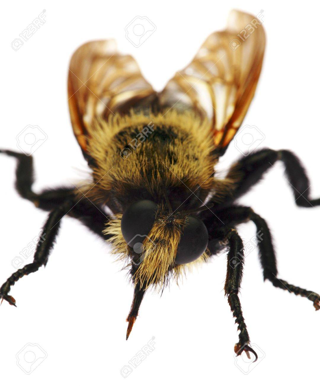 bumblebee front view stock photo picture and royalty free image
