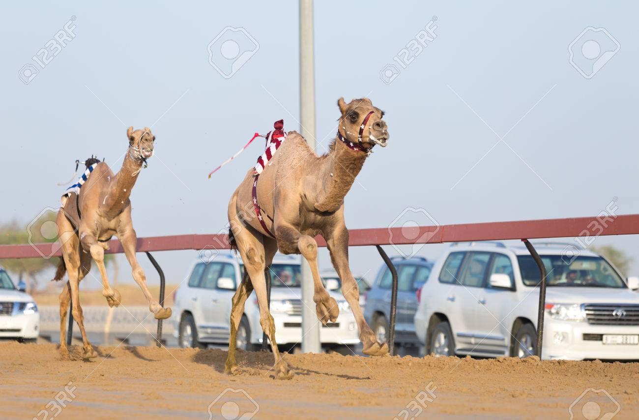 Dubai camel racing club camels racing with radio jockeys stock photo dubai camel racing club camels racing with radio jockeys stock photo 49200415 thecheapjerseys Choice Image
