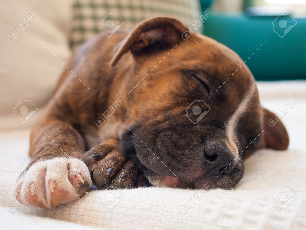 A Brindle Puppy Pitbull Sleeping Stock Photo Picture And Royalty