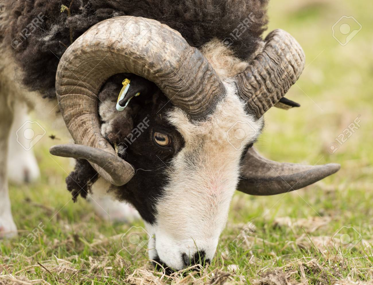 a black and white ram with beautiful strong curly horns eating stock photo picture and royalty free image image 94667330 a black and white ram with beautiful strong curly horns eating