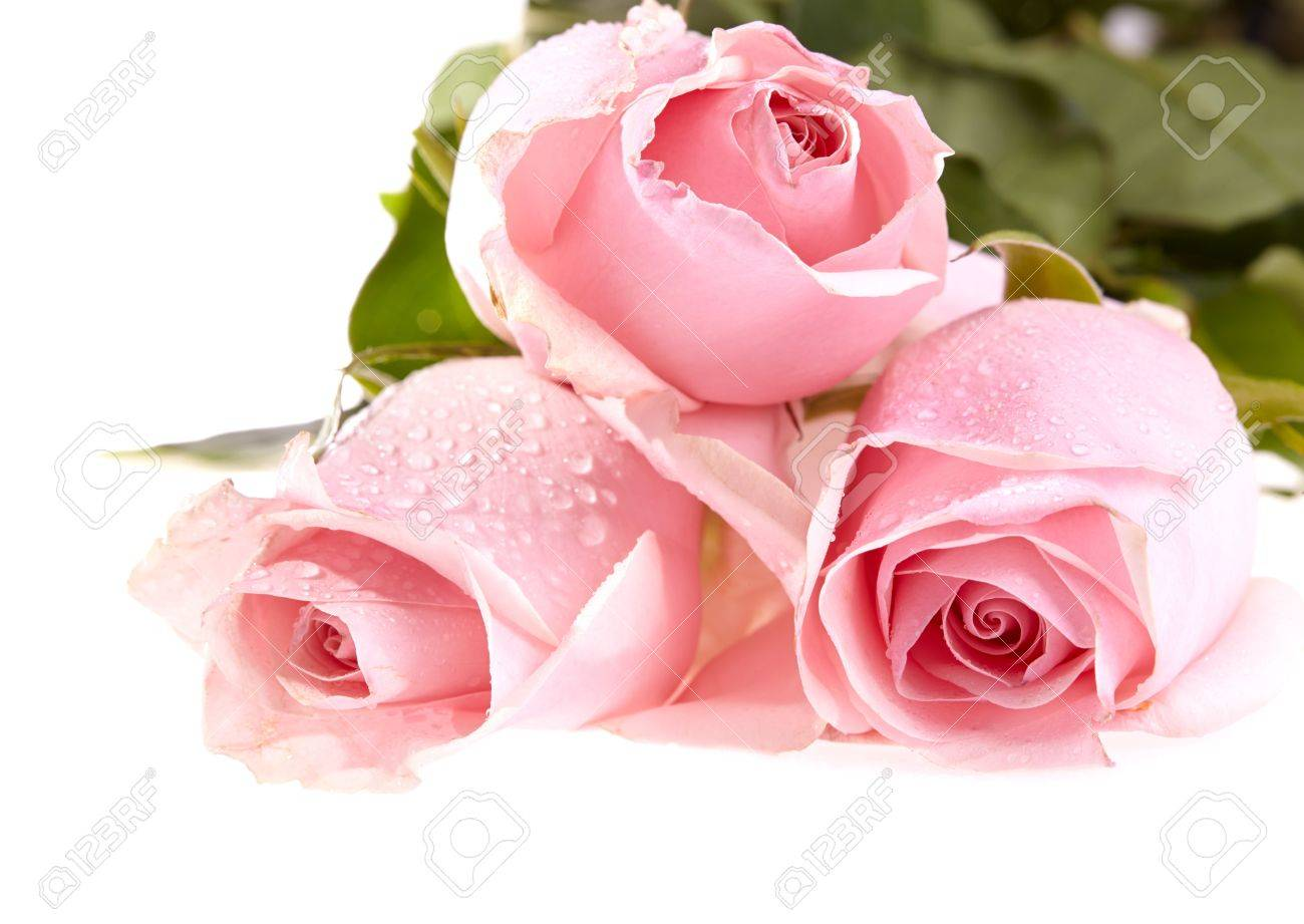 Green And Pink Roses Stock Photo - Three pink roses