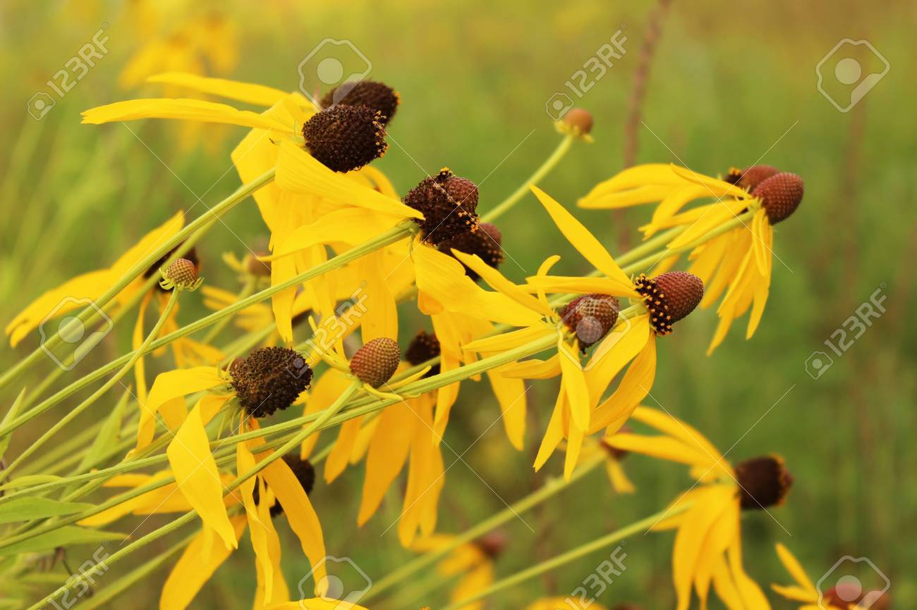 Yellow Prairie Wildflowers Bend To The Will Of The Wind Stock Photo