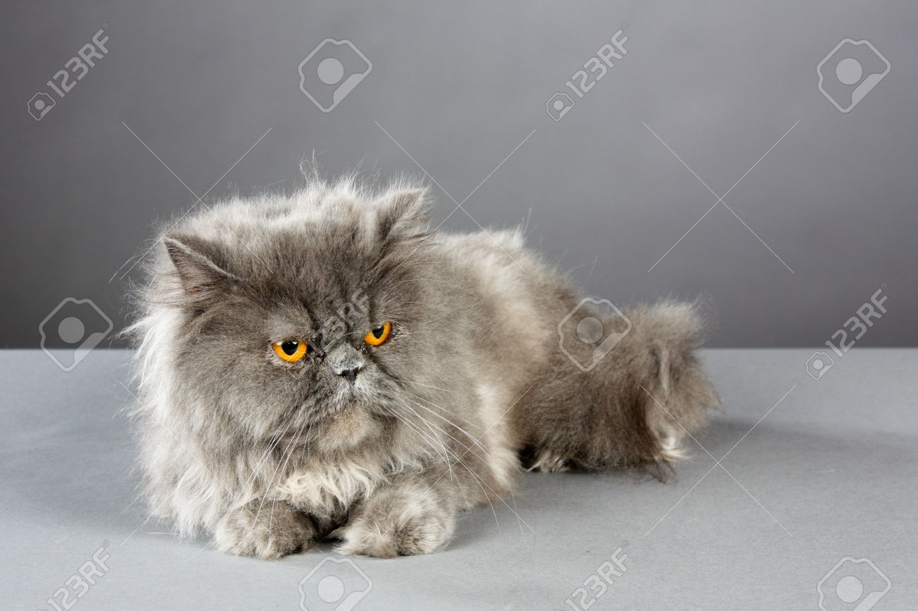 Beautiful Fluffy Blue Persian Cat With Intense Orange Eyes