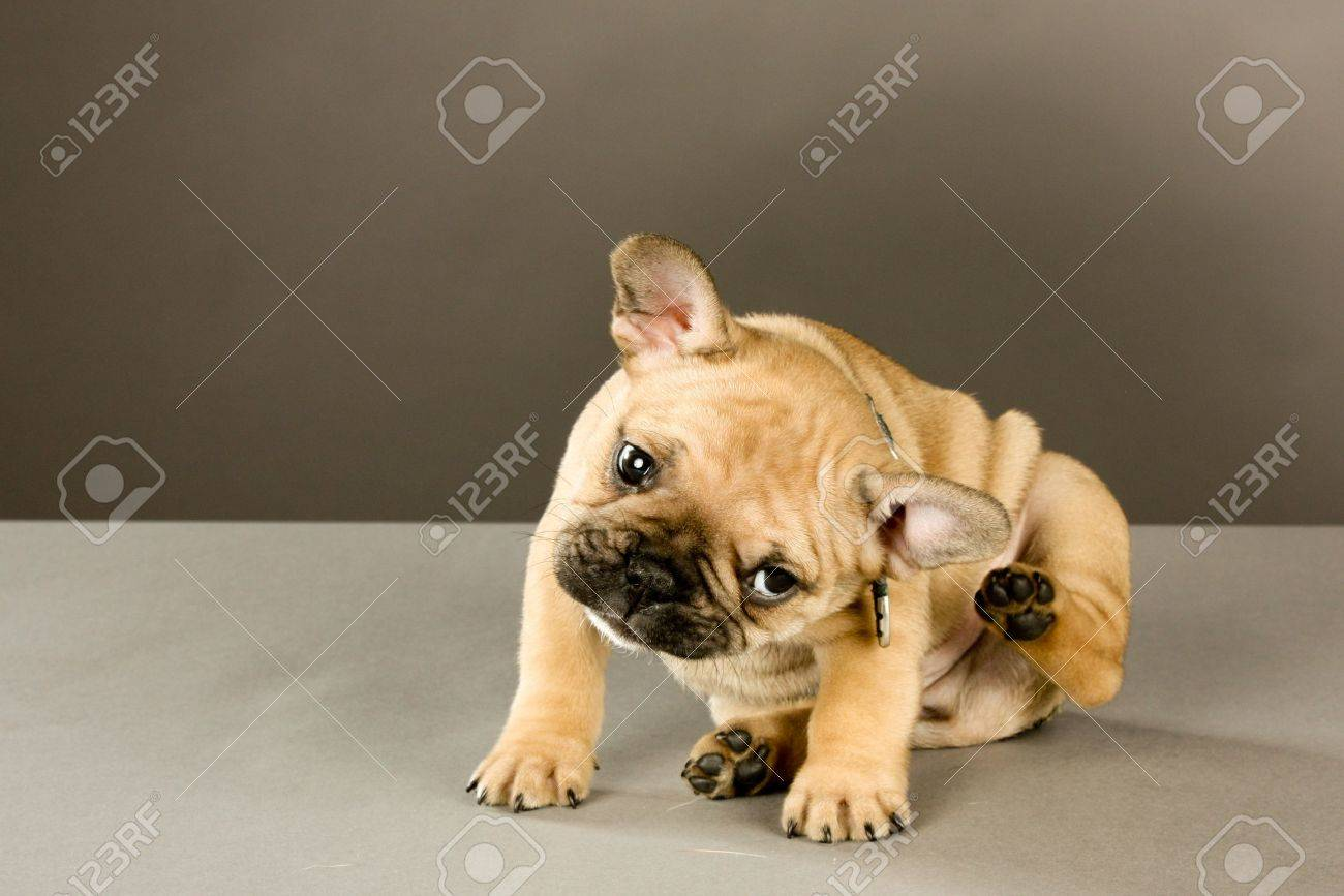 Adorable six week old French bulldog puppy, wearing a collar looking at the camera, scratches his ear. Indoor studio shot with gray background - 12339293