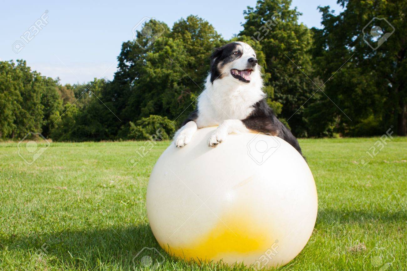 An Australian Shepherd Dog doing exercises on a Yoga ball in the park. Stretching is very good for your dog. - 21438524