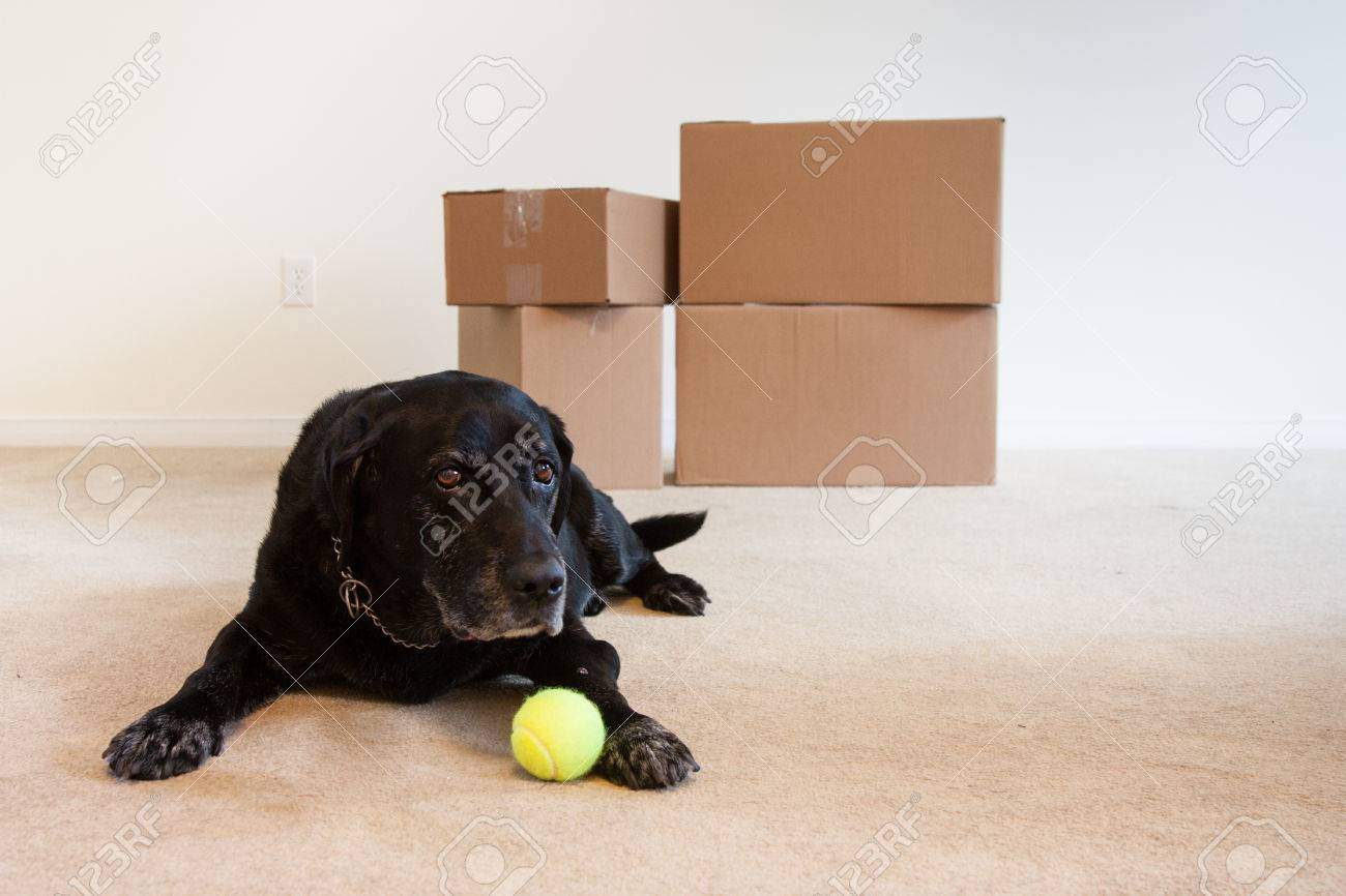 A sad old dog laying in the living room with only cardboard boxes and his ball - 48679367