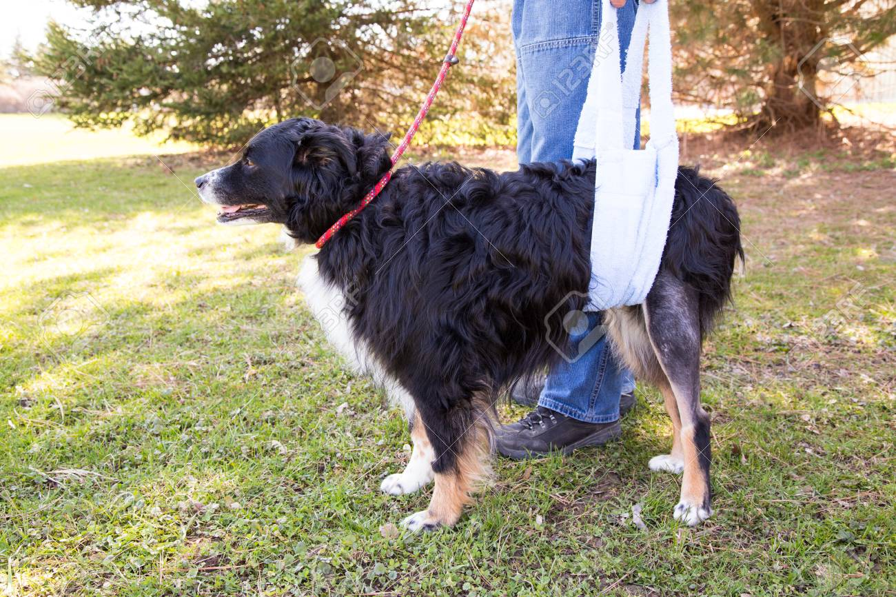 Dog recovering from TPLO surgery walking with sling support - 48108145