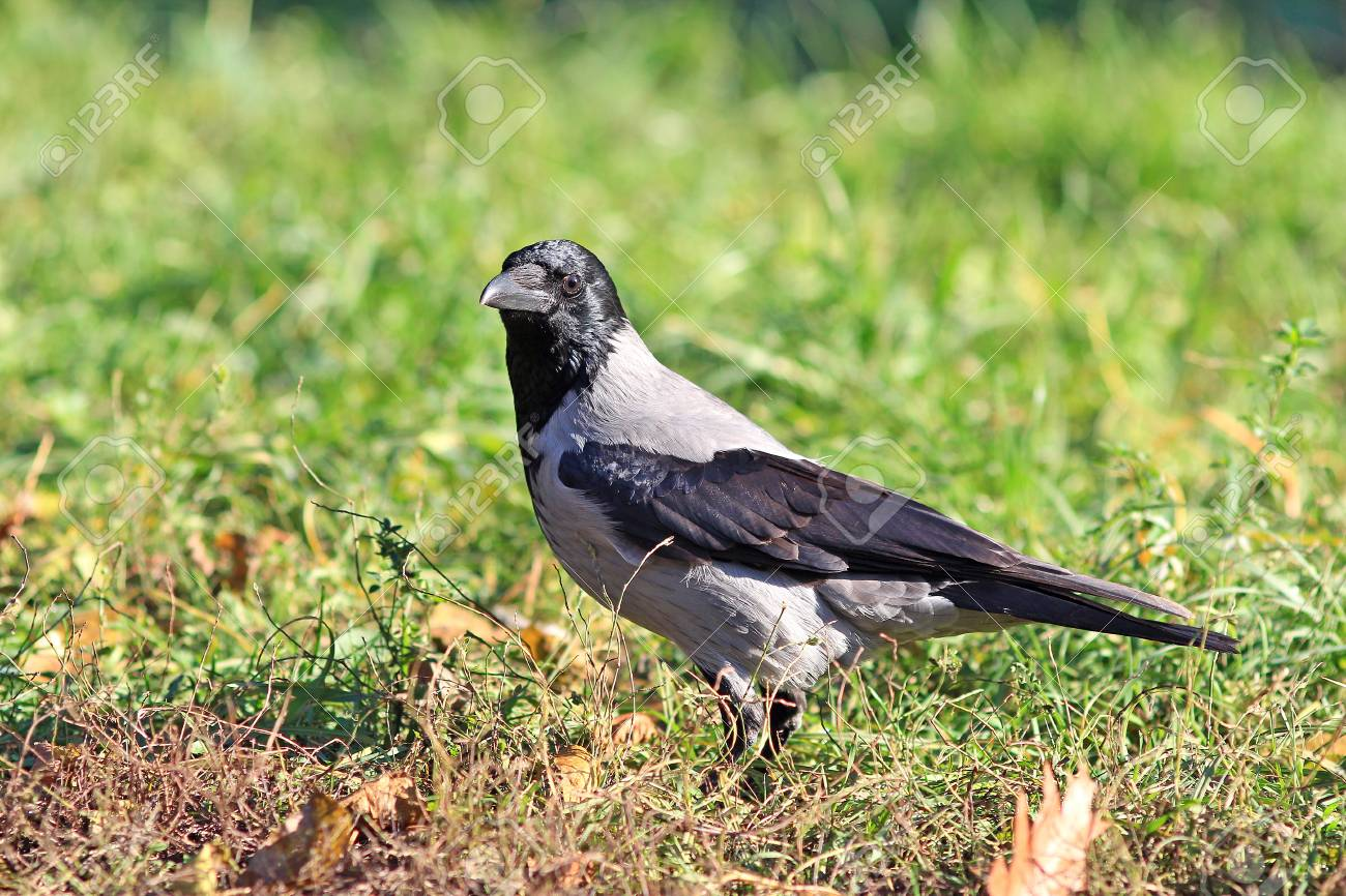 Funny Crow Pose For A Photo Stock Photo Picture And Royalty Free