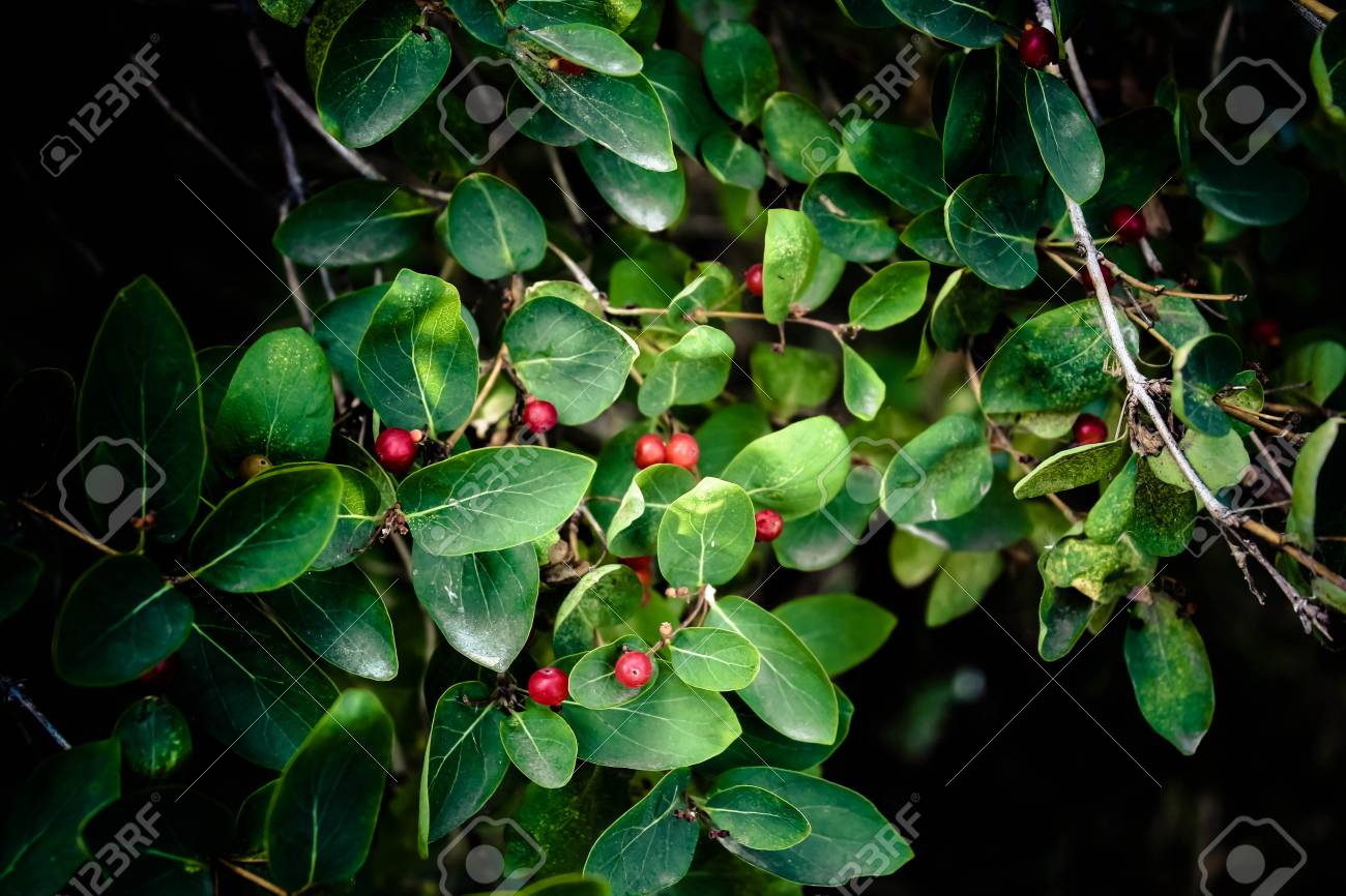 Green Bush With Red Berries Plant With Fruits In The Park In