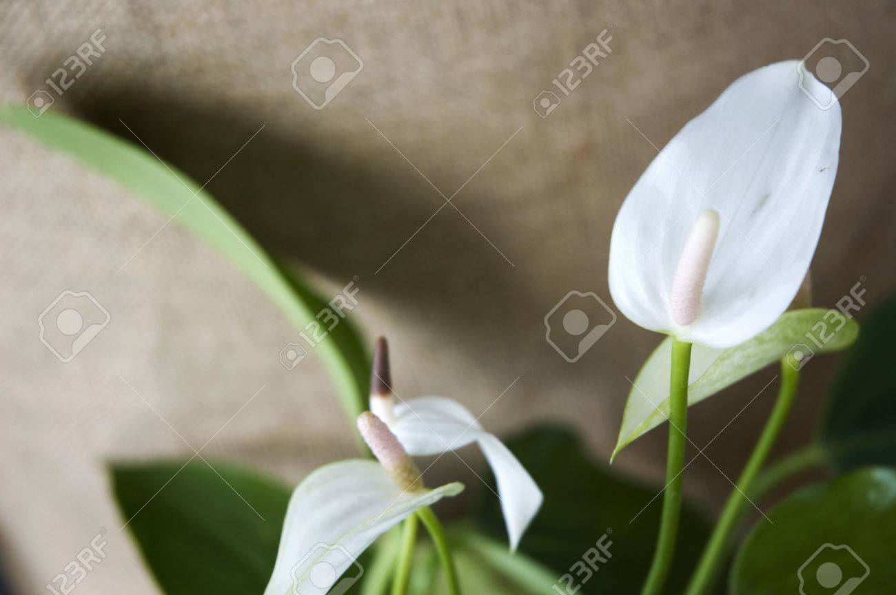 White Anthurium Flower On Natural Brown Sackcloth Background Stock