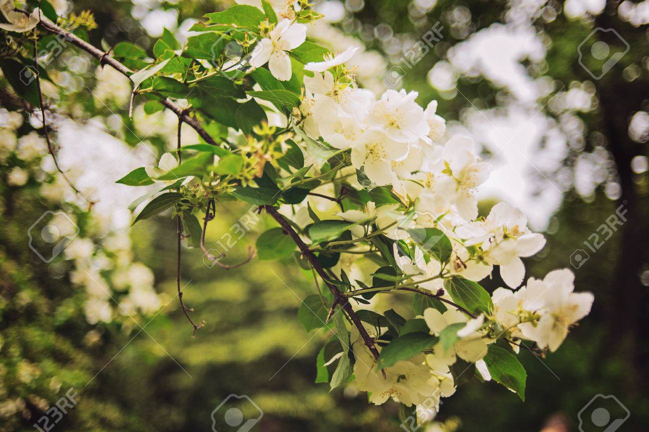 Fleur Tropicale Blanche Jasmin Sampaguita Avec Fond Naturel Flou