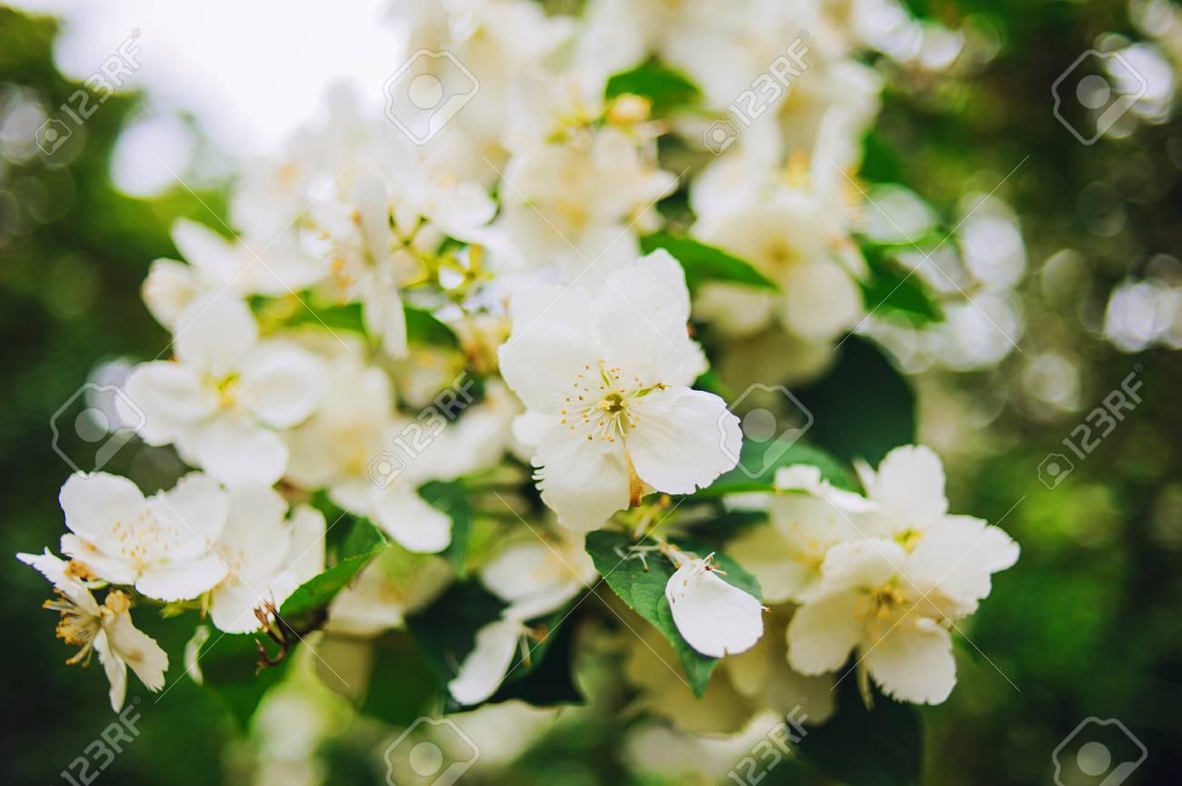 Tropical White Flower Sampaguita Jasmine With Natural Blurred