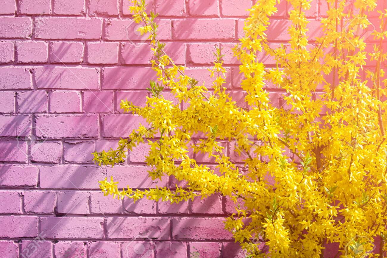 Yellow Forsythia Flowers In Blossom On The Background Of Pink