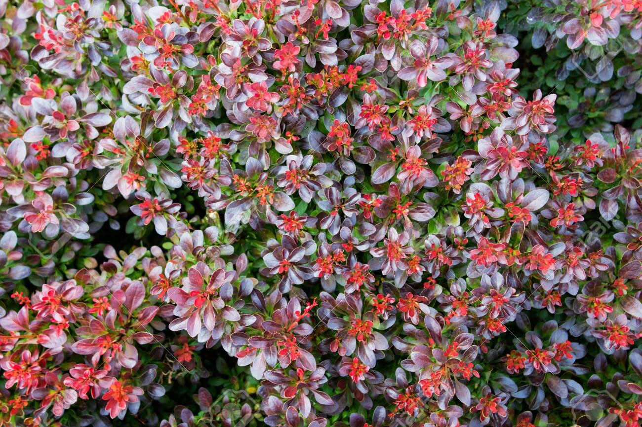 Texture background with garden bush shrub plant lavish red foliage.