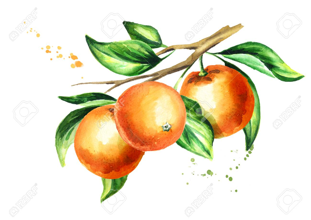 Orange Branch With Fruit And Leaves Watercolor Hand Drawn Illustration Stock Photo Picture And Royalty Free Image Image 94566469
