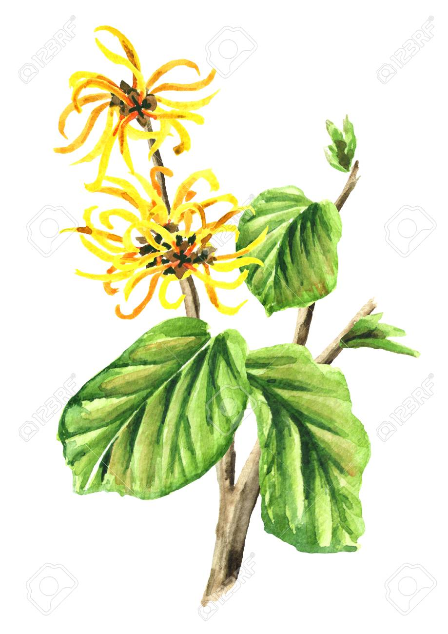 Branch Of A Witch Hazel With Leaves And Flowers Medicinal Plant