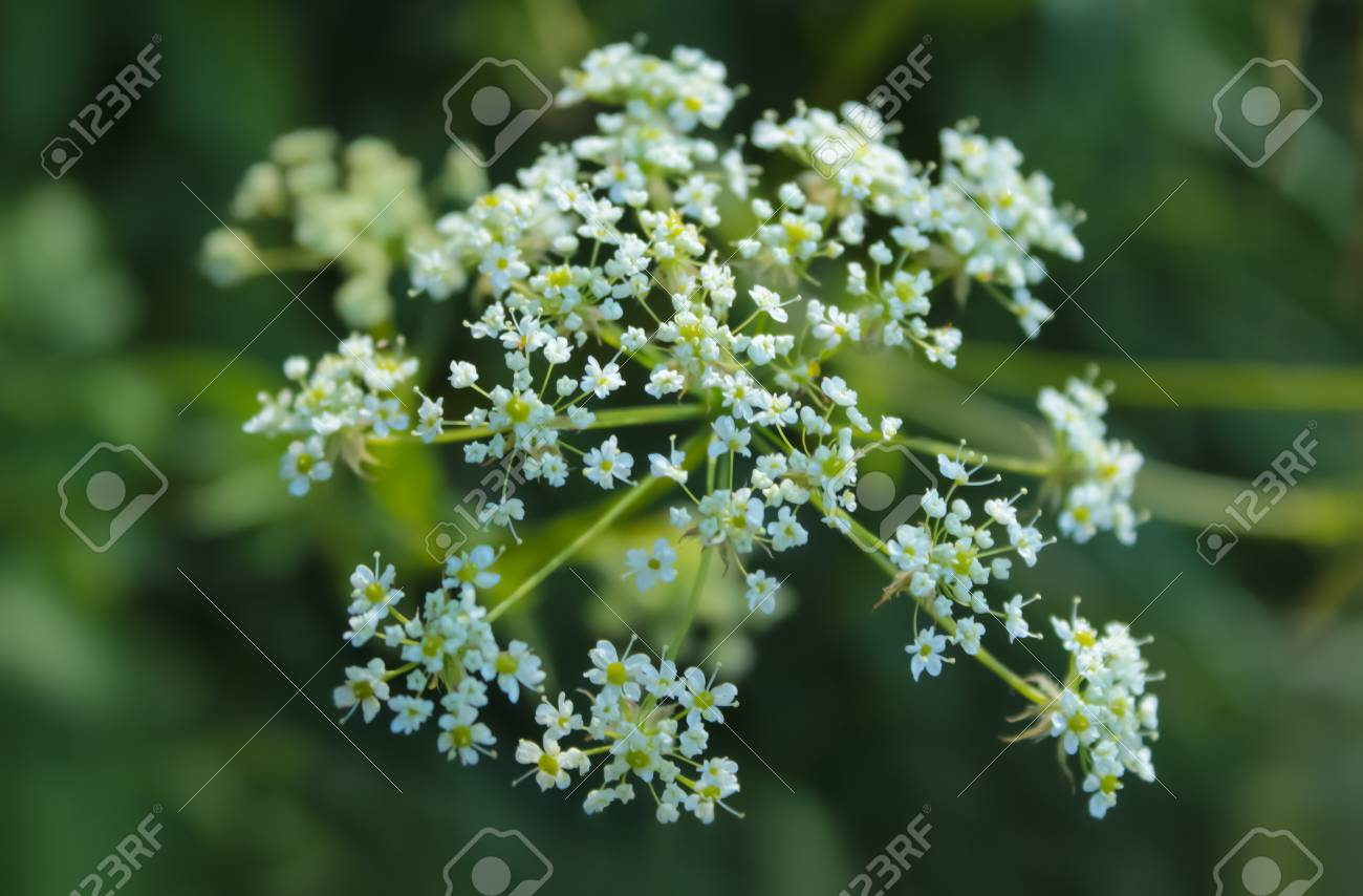 Plant cicuta hemlock is poisonous with white flowers stock photo plant cicuta hemlock is poisonous with white flowers stock photo 92216925 mightylinksfo