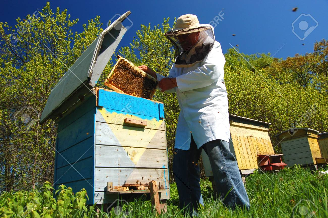 Experienced senior beekeeper working in his apiary Stock Photo - 19787279