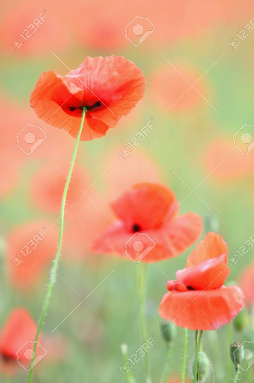 Delicate And Beautiful Poppy Flowers On A Field Stock Photo Picture