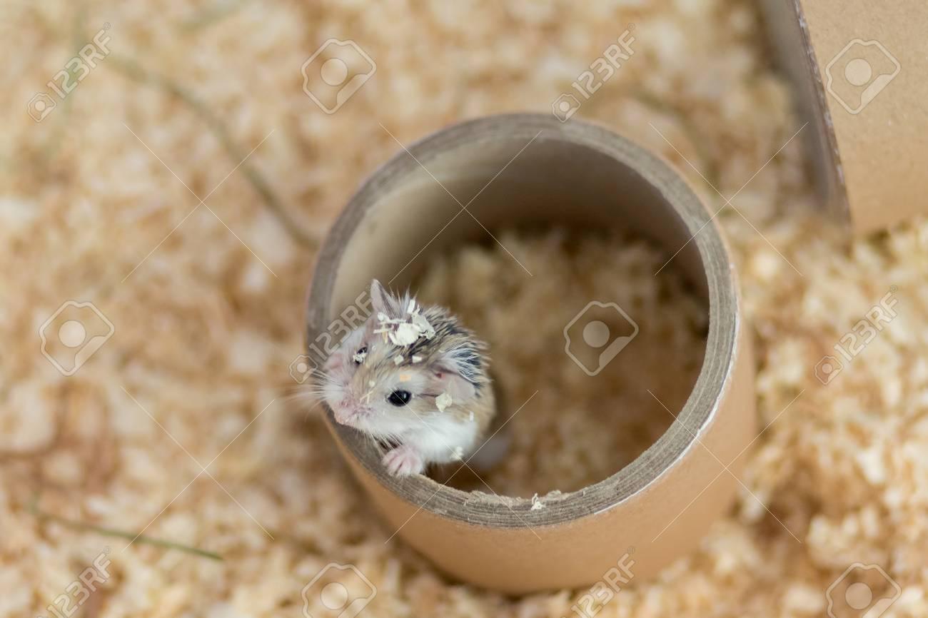 Dwarf Roborovski hamster climbing on paper cylinder