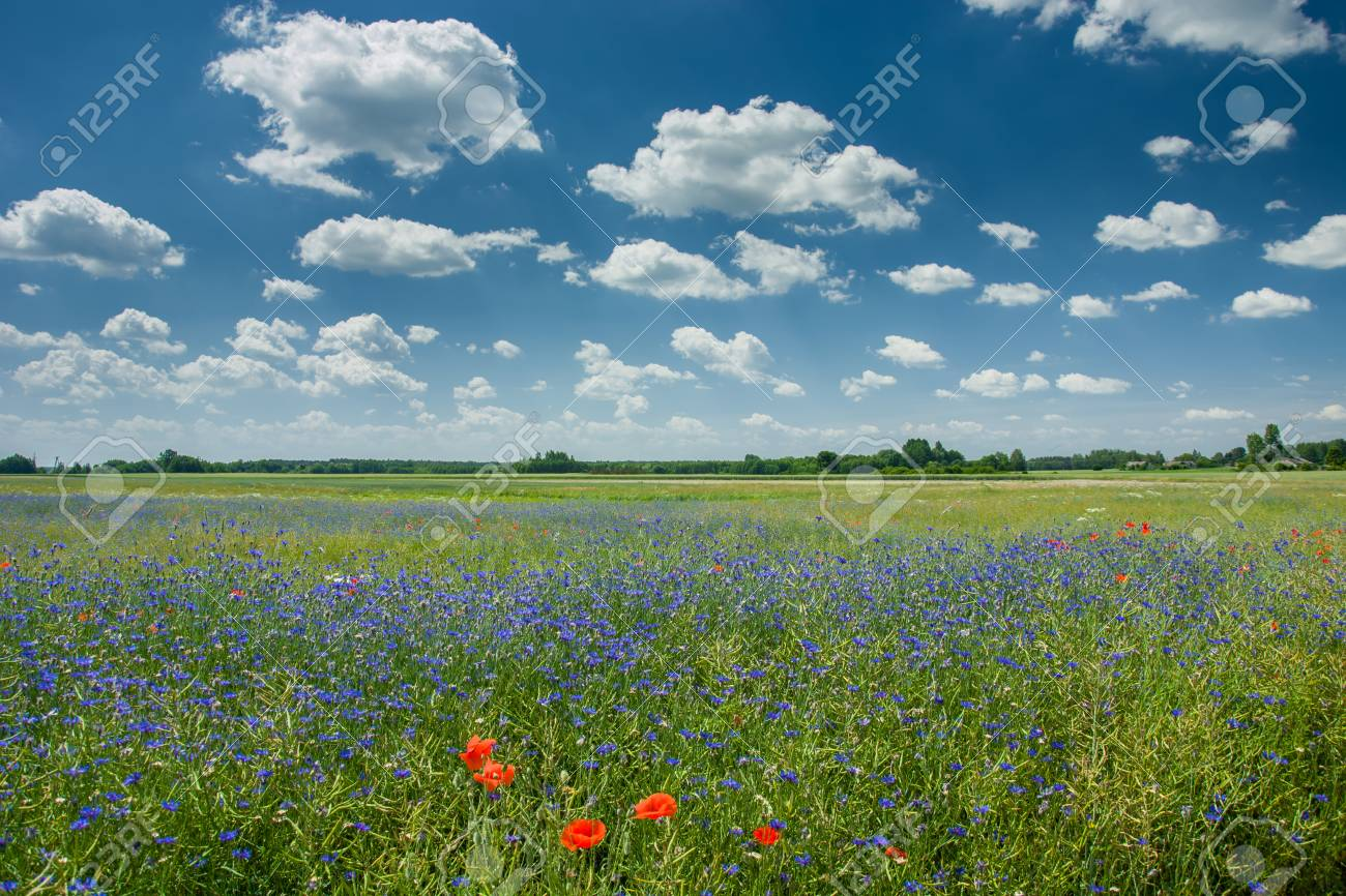 Blue cornflowers growing in a green field of rapeseed, horizon and white clouds on a blue sky - 125458154