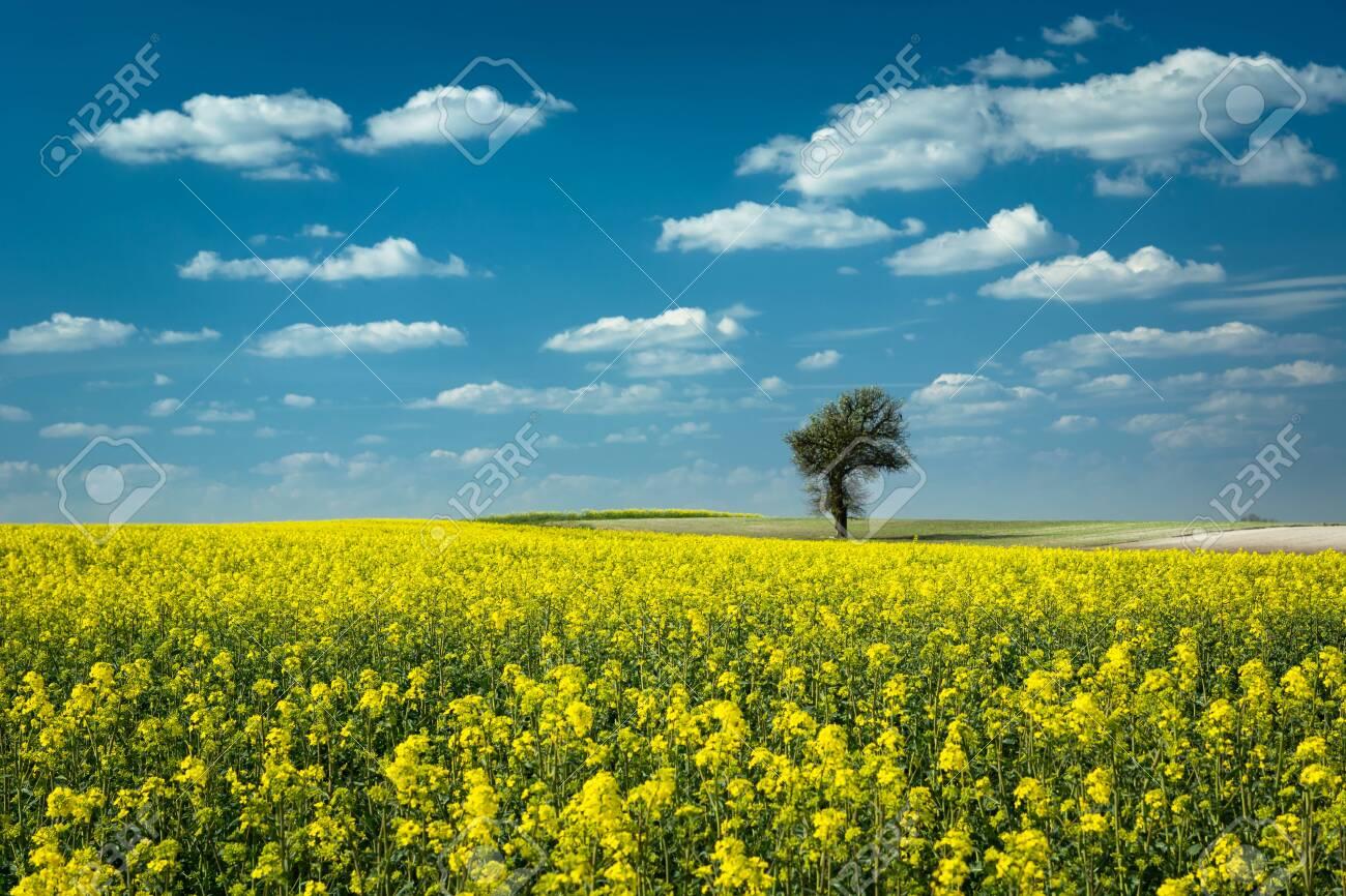 Single tree in a yellow rape field, white clouds on blue sky - 146670534