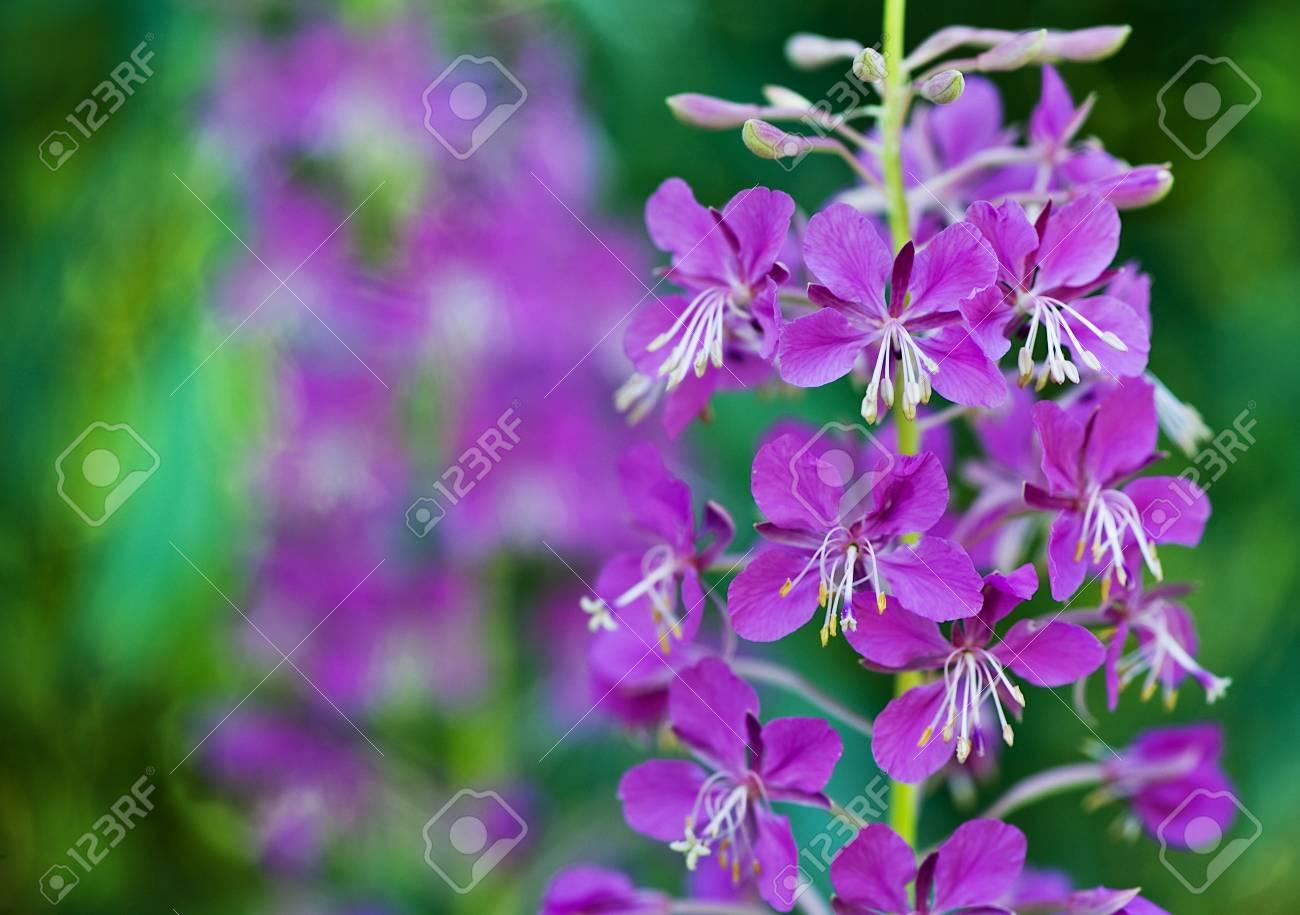 Beautiful violet flowers Stock Photo - 14554531
