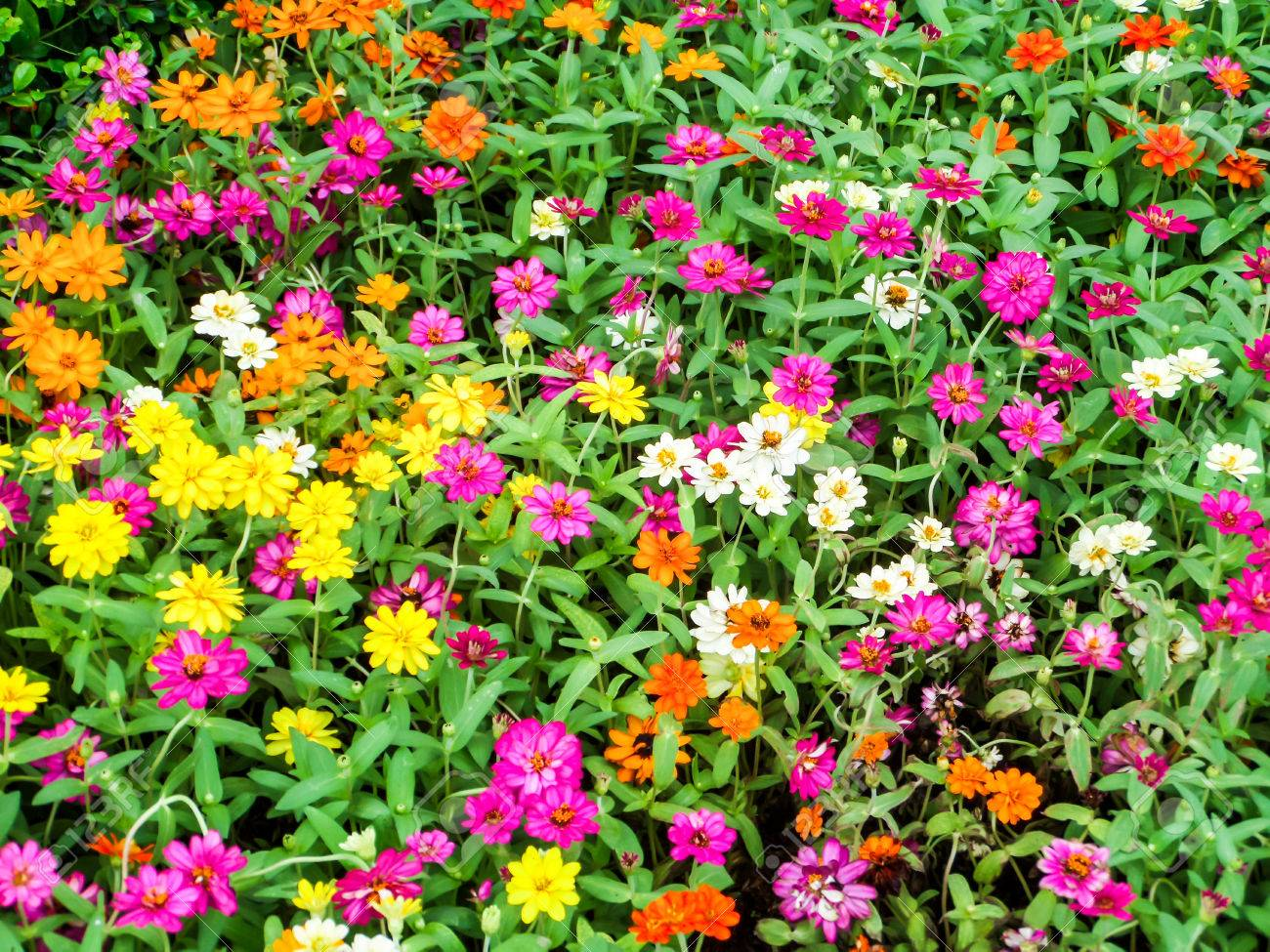 The Zinnia Flower Is One Of The Most Exuberant Flowers You Will Want