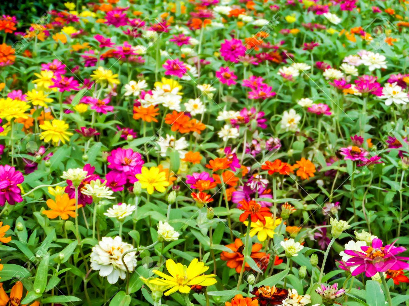 The Zinnia Flower Is One Of The Most Exuberant Flowers You Will