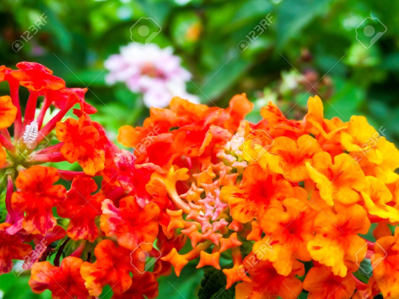 Lantana rouge orange jaune ton coloré beauté fleur dans le jardin