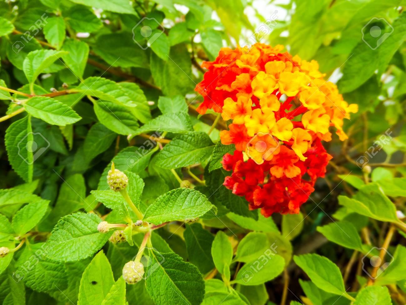Lantana Rouge Jaune Coloré Ton Fleur De Beauté Dans Le Jardin Banque ...