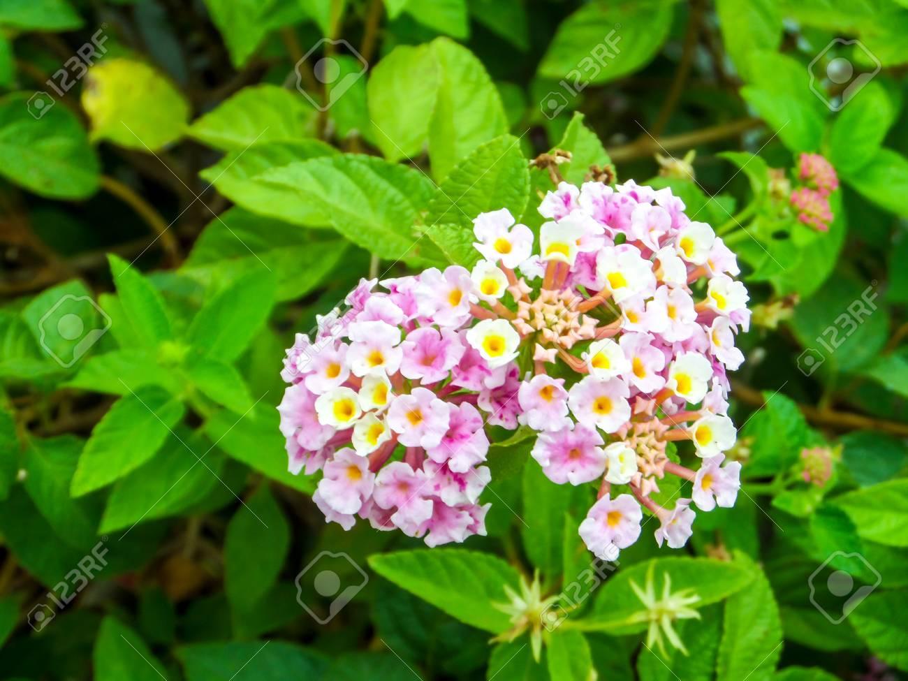 Lantana Coloré Rose Blanc Jaune Ton Beauté Fleur Dans Le Jardin ...