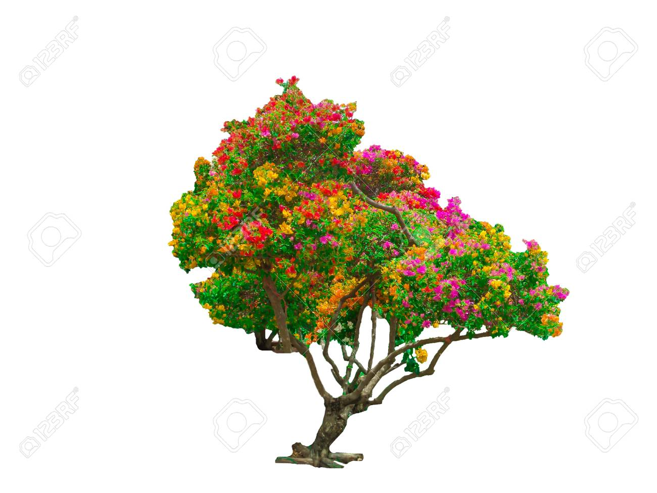 Bougainvillea Tree Rainbow Colorful Isolated Stock Photo, Picture ...