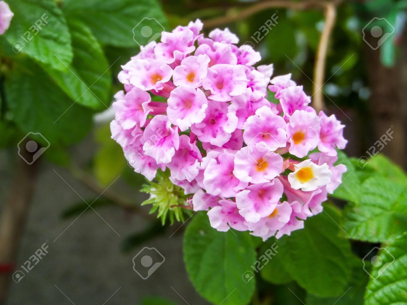 Lantana Blanc Rose Coloré Ton Fleur De Beauté Dans Le Jardin Banque ...