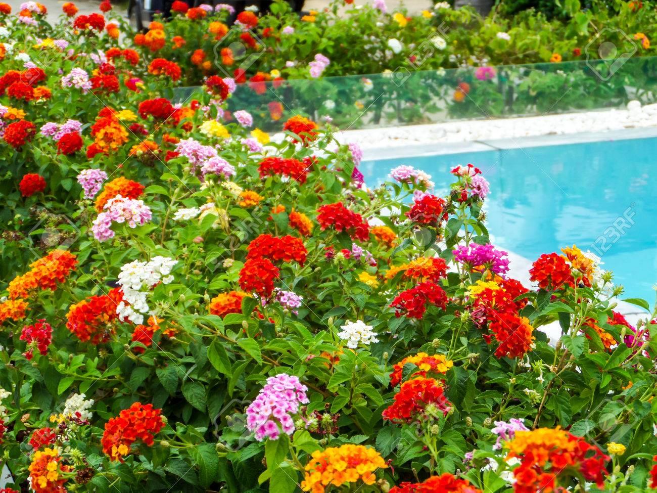 Lantana Coloré Ton Fleur De Beauté Entre Le Jardin Et La Piscine ...