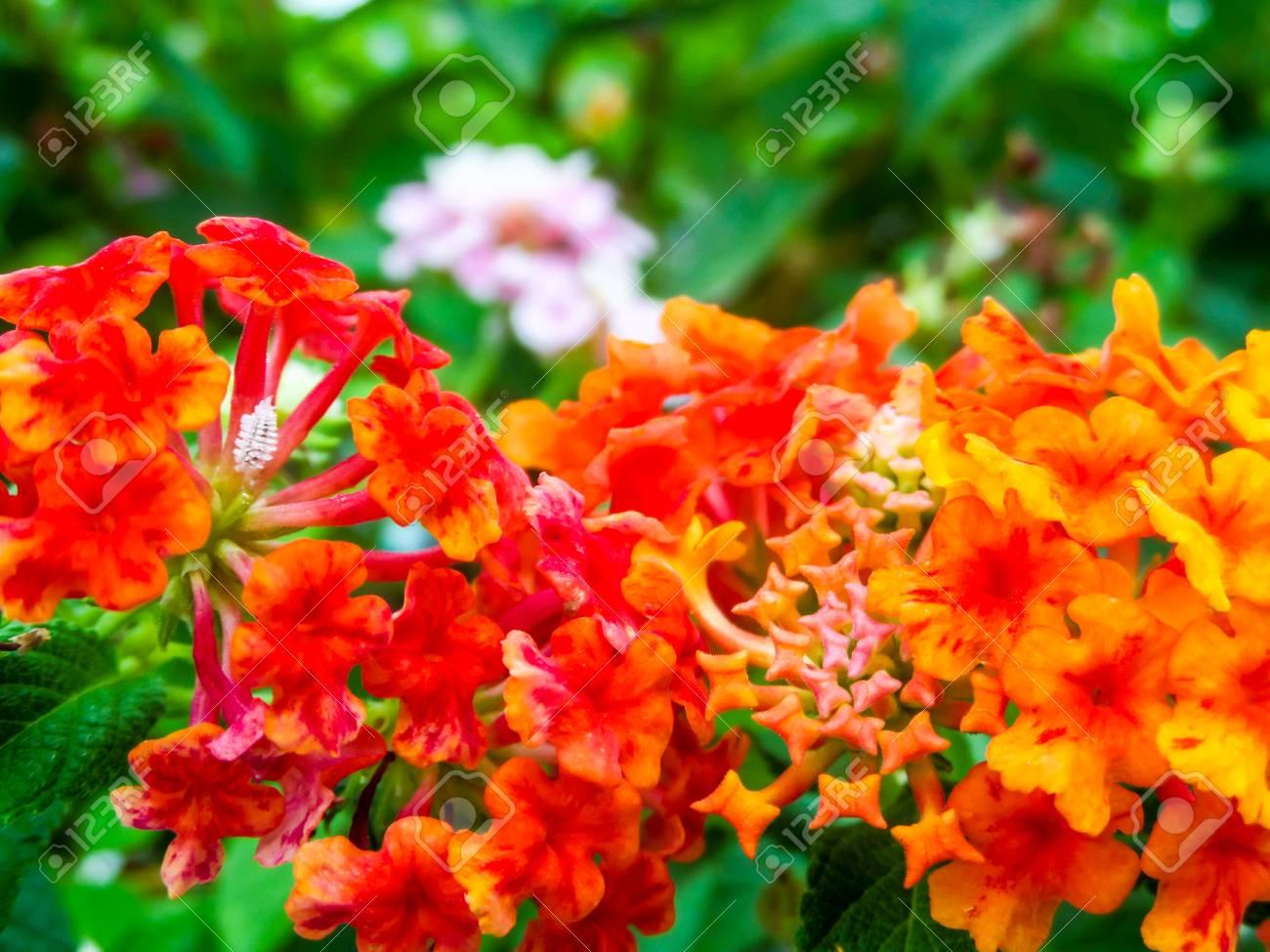 Lantana Red Orange Yellow Colorful Tone Beauty Flower In Garden