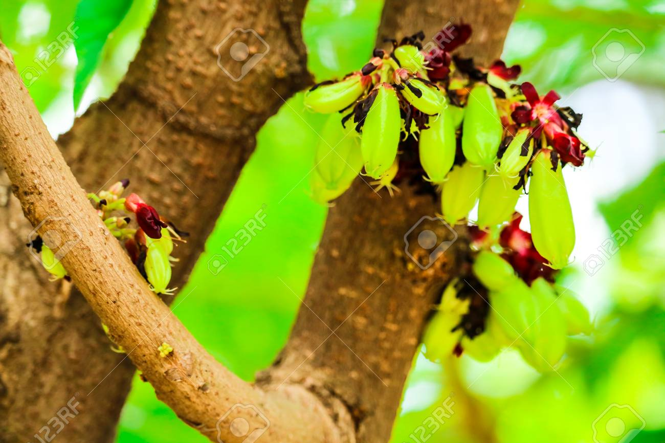 Bilimbi Is A Fruit Bearing Tree It Is A Relative Carambola Stock